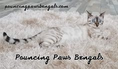22 Best Bengal Kittens for Sale images in 2019 Bengal Kittens For Sale, Kitten For Sale, Cats And Kittens, Free To Use Images, Cattery, High Quality Images, Adoption, Card Drawing, Pets