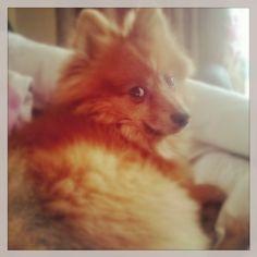 Love him  #fluffy #mybooboo #basil #cutie My Boo, Love Him, Basil, Friends, Instagram Posts, Animals, Diy Dog, My Love, Amigos