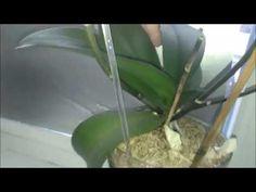 мои Орхидеи Ноябрь 2016 закрытая система. - YouTube