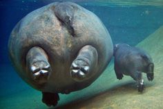 A hippo underwater from behind is quite a sight...