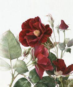 "Rosa ""Dusky Madien"" by Elaine Searle"