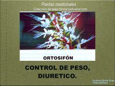 #DiSalud con Plantas Medicinales: #Ortosifón