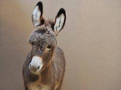 Sunshine. Courtesy: Amelia Rise Donkeys. Yea, Victoria (Australia).