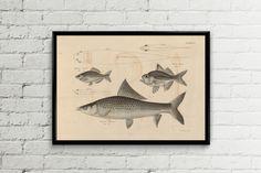 Wall art print. Nautical illustration. Vintage fish poster.Illustration. Marine print. Fish poster. Kitchen decor. by ariadnathread on Etsy https://www.etsy.com/listing/230934767/wall-art-print-nautical-illustration