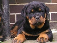 Rottweiler puppy with BIG paws already