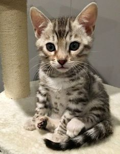 Silver Bengal Cat, Bengal Cats, Hypoallergenic Cats, Paper Balls, Cute Cats And Kittens, 8 Weeks, Beautiful Cats, Adorable Animals, Cat Love