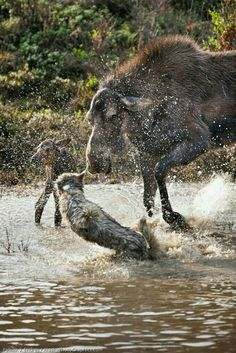 Cow Moose defending her calf from a wolf