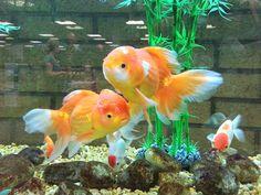 Goldfish fantasia   Vida de Mar