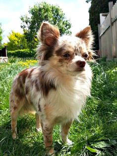 Look at this beauty Long Haired Chihuahua Puppies, Merle Chihuahua, Baby Chihuahua, Cute Puppies, Cute Dogs, Dogs And Puppies, Long Hair Chihuahua, Doggies, Beautiful Dogs