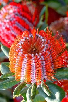 "Red and Orange Banksia Flowers ~ These Australian wildflowers and popular garden plants are easily recognized by their characteristic flower spikes and fruiting ""cones"" and heads. Flower Garden, Pretty Flowers, Planting Flowers, Rare Flowers, Australian Flowers, Unusual Flowers, Amazing Flowers, Beautiful Flowers, Trees To Plant"
