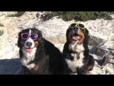 """See Hannah the Mountain Dog and her sister at the beach shooting for the children's picture book """"A BEACH DAY FOR HANNAH"""""""