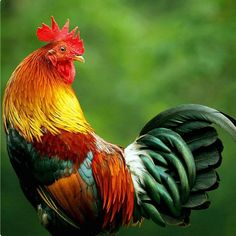 Gorgeous colors on this stunning rooster. (No photo credit given)