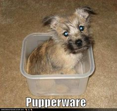 Looks just like my Cairn Terrier when she was a pup! -www.dogs.icanhascheezburger.com
