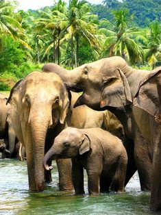Pinnawala Elephant Orphanage . Sri Lanka