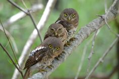 African Barred Owlets. Taken in Kruger National Park, South Africa. Waiting for mom and dad to feed them.  https://www.facebook.com/owlpages