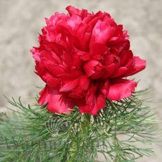 Warmerdam Paeonia B. Paeonia Tenuifolia, Plants, Growing Up, Peony, Peonies, Shade Perennials, Plant, Planets