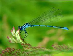 Dragonfly | Blue Dragonfly