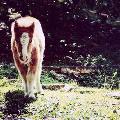 Indiana miniature filly   #miniaturehorse #ponny  #pinies #horselife #caballos #criaderoeltrebol #caballosminiaturas #caballo #miniscolombia