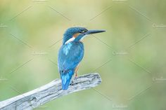 Common kingfisher Photos Alcedo atthis by Nat