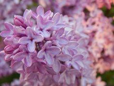 Syrenflowers, Pedersöre 2015