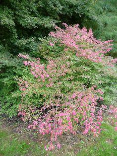 L'automne rosit le fusain ailé http://www.pariscotejardin.fr/2013/11/l-automne-rosit-le-fusain-aile/