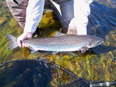 Atlantic salmon Atlantic Salmon, Fly Tying, Fly Fishing, Salmon, Fly Tying Patterns, Fishing Lures