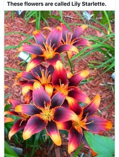 These flower is called Lily Starlette. I want a bed full of these and Tiny Pedhye Asiatic Lillies!