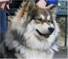 Finnish Lapphund (wolf sable)