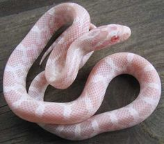 Baby Corn Snakes (Various Morphs)