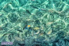 Fish in Bermuda's waters http://bernews.com/tag/underwater-photos/