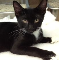 Tilt-A-Whirl is an adoptable Domestic Medium Hair-Black And White Cat in Cumming, GA. My name is Tilt-A-Whirl, a sweet and cuddly black and white female born around 03/30/2012. Currently I live at the...