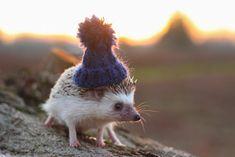 phoebe bird | ridiculouslyrachel: Pendleton the hedgehog.