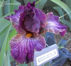 TB Iris germanica 'Beary Beary' (Kasperek, 2001)