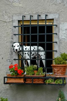 Dalmation guarding a house in Tuscany