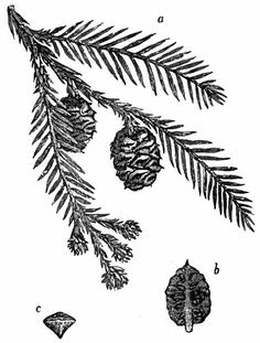 Redwood pine cone and branch