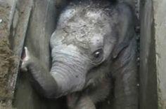Συγκλονιστική επιχείρηση απεγκλωβισμού για ένα ελεφαντάκι (video+photo)