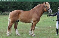Estonian Draught - stallion Kapten