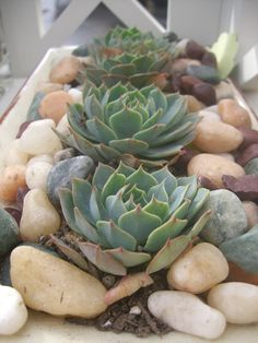 succulent centerpiece - i want something like this somewhere in our house...