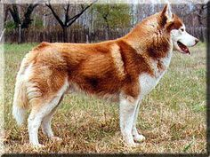 Copper red Siberian husky. This is the color husky I want.