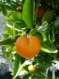 Heart Shaped Orange    In the middle of my junior year of high school, we moved to Sacramento, CA from the Midwest, and the first night I spent sleeping on the floor in my new room--when I pulled the shade open, right in front of me was a heart-shaped orange, much like this! I love that memory so much...