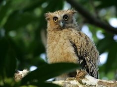 Buffy Fish Owl (Bubo ketupu) juvenile. Photo by Chan Yoke Meng.
