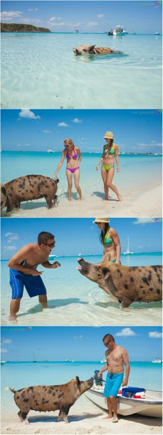 Majors Cay Exumas Bahamas Beach Pigs. Feeding the swimming pigs. Blog | Eve Greendale Photography | Palm Beach Portrait Photographer