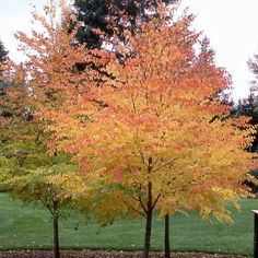Kastura tree.  Amazing fall color and a big bonus:  fallen leaves smell like cotton candy!
