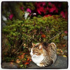 亀戸天神の猫❤ #cat #kameido #shrine #tokyo #japan - @noel_izu- #webstagram
