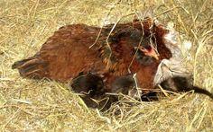AAAWWW! Funny looking chicks. Lol