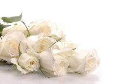Gambar Bunga Mawar Putih yang banyak