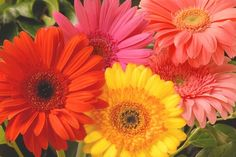 Gerbera Daisy. These are great in containers! Very easy to grow and nice for cutting.