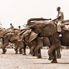 An energetic display during the Lwiindi ceremony in Livingstone Zambia  #timplowdenphotography #travelgram #traveling #travel #zambia #livingstone #africa #elephants #ceremony #festive #display #trunk #tusks #elephant #march #synchronicity #travelphotography #animal #animal_captures #occasion #sepia #canon #wildtravel