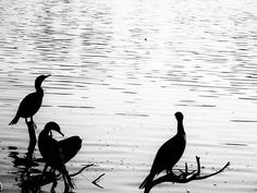 Three birds by the Lake in downtown . . . #blackandwhitephoto #bnw_life #bnw_captures #bw_society #thecitybeautiful #Orlando #Florida  #instabird #beak #wing #birdsofinstagram #instagramanet #feathered #bird #wings #feathers #birdstagram #feather_perfection #birdlover #fly #birdwatching #feather #birds #instabirds #flight #birdcage #birdgang #featheredfriends #birdland