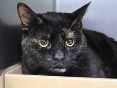 Pulled by Staten Island Hope Rescue* NYC TO BE DESTROYED 05/01/15 **All Around Sweet Heart** KIMI is relaxed, affectionate, & calm around children.Kimi interacts with the Assessor, allows attention, allows brief handling & tolerates all petting. ID #A1034454. Spayed female tortie about 12 YEARS old. OWNER SUR - PERS PROB. https://www.facebook.com/nycurgentcats/photos/a.998500743501246.1073742671.220724831278845/998500763501244/?type=3&theater